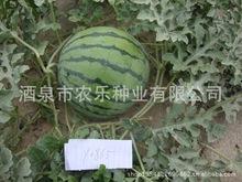供应抗裂西瓜京欣王种子 大果耐运 园花皮 脆嫩甜