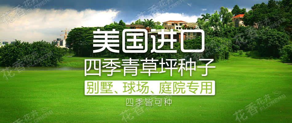 批发四季青草坪种子 混播四季青种子 可用于高尔夫球场