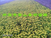 【圃地直销】八宝景天 三七景天 地被植物 草花萱草 东北景天价格