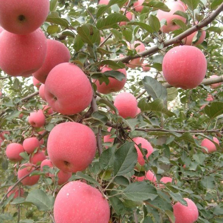 嫁接苹果树苗红富士矮化苗金冠嫁接南北方种植庭院果树 果大香甜-