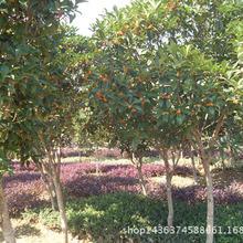 长沙苗木供应红丹桂花树 丹桂苗批发 红丹桂 花色优美气味