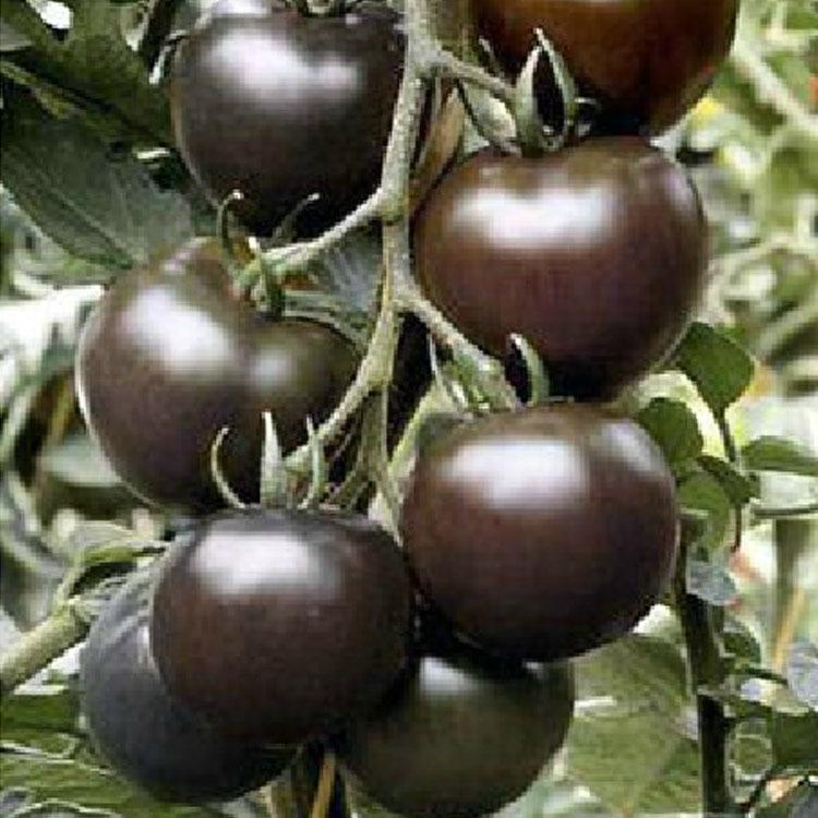 黑番茄图片