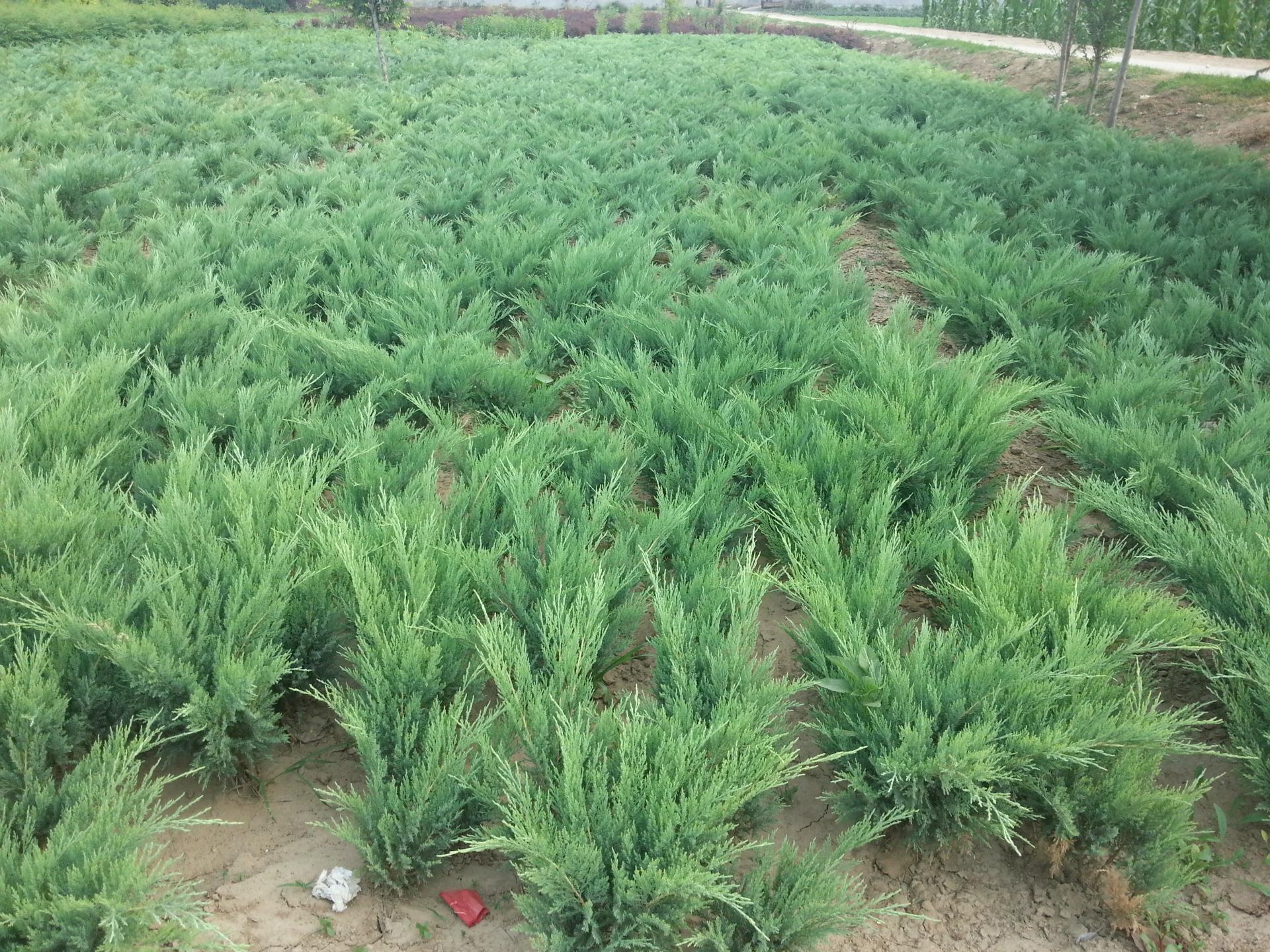 出售绿化苗 地柏 铺地柏 沙地柏 四季常青苗 工程绿化苗 量大从优
