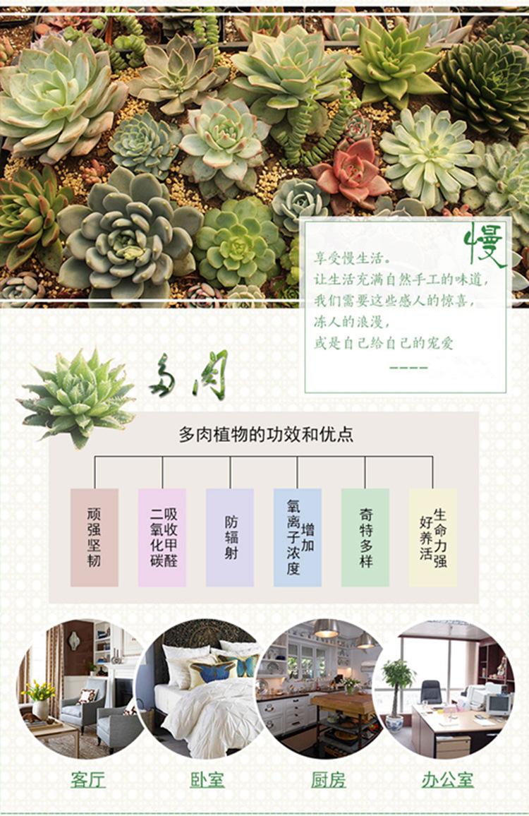 冰莓月影 上海大棚自繁殖进口多肉品种 植物盆栽批发 状态