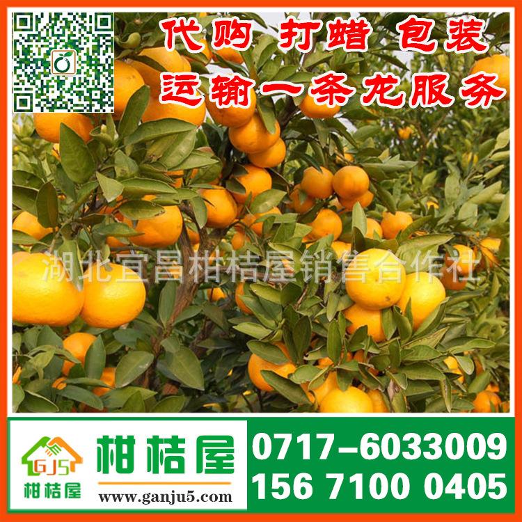 大同南郊区特早蜜橘产品展示