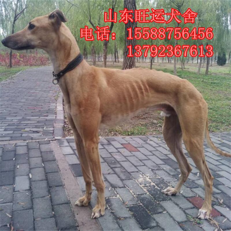 其他特种养殖动物-江门哪里有卖牧羊犬