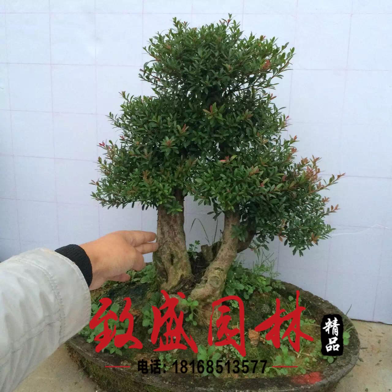 榆树盆景 中小型