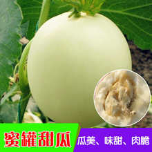 白皮蜜罐甜瓜种子 香瓜种子甜掉牙 早熟超甜盆栽阳台春季四季种植
