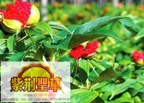 紫荆圣草白芨种苗可做药吗 湖北全汇白芨成品技术能更好的养护种苗