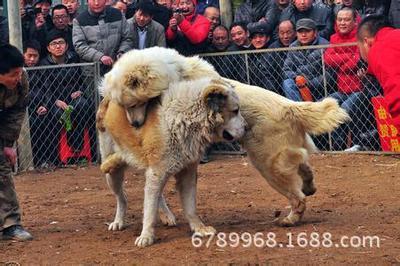 8个月中亚牧羊犬价格¥中亚犬幼犬价格$中亚犬幼犬多少钱一只