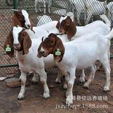 出售純種波爾山羊羊羔 育肥羊  肉羊出肉率48% 免費運輸