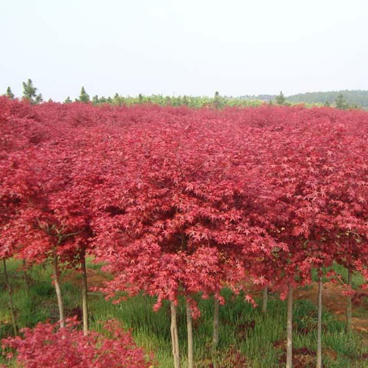 直销绿化苗木 美国红枫 树苗庭院小区日本红枫三季红红枫树苗批发-
