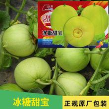 日本甜梨甜瓜种子 金束鹿 日本引进 口感佳 新品瓜果种子 庭院