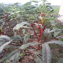 秋阳种业蔬菜种子红秋葵种子绿水果秋葵春季农家田园夏季蔬菜