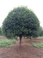 桂花樹大量供應,物美,價廉