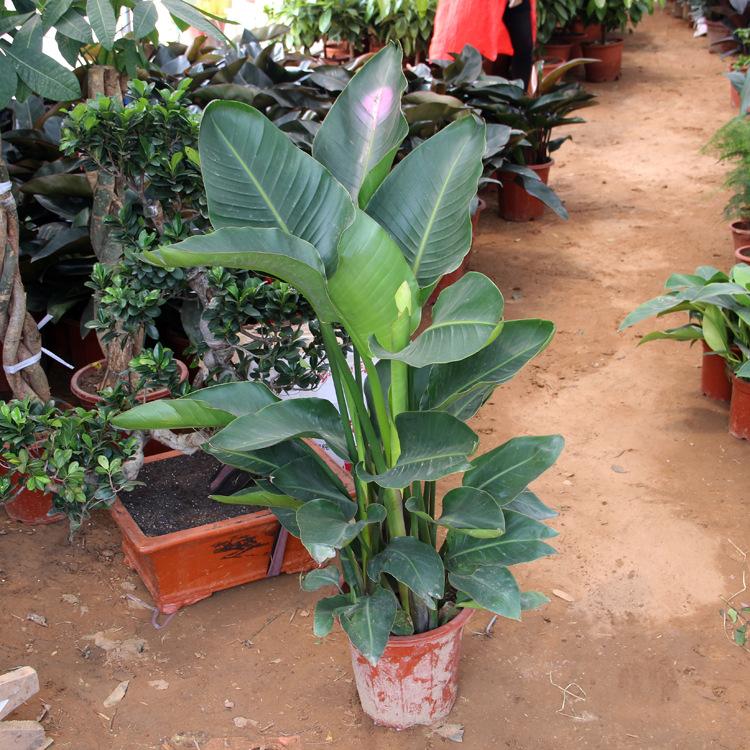 室内大型绿植花卉 天堂鸟盆栽植物 办公室客厅观叶植物-