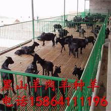 小尾寒羊批发 致富养羊 广西养羊 养羊的成本和利润