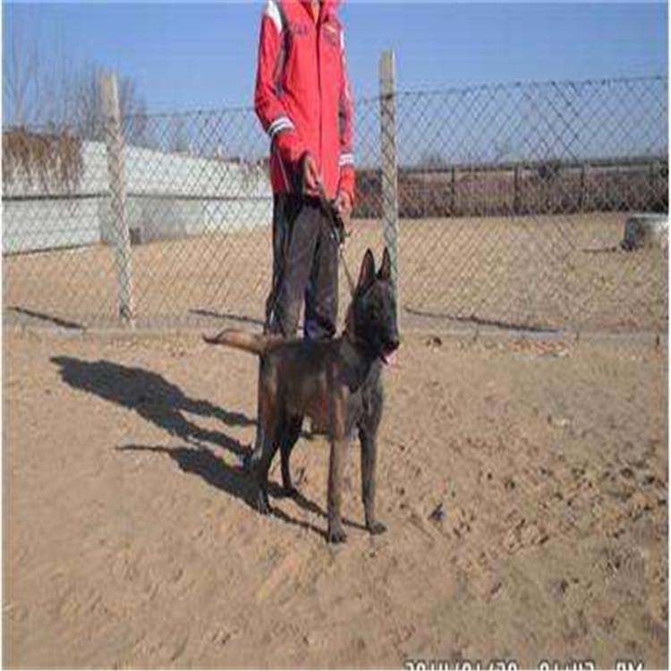 现在一只马犬的价格,马犬幼犬200-300元的小狗山东济宁马犬基地