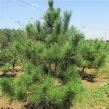 基地常年出售常绿乔木油松胸径7公分油松山东泰安销售油松树