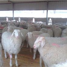 常年出售杜泊绵羊和小尾寒羊美丽漂亮的黑山羊哪里有 价格怎么样