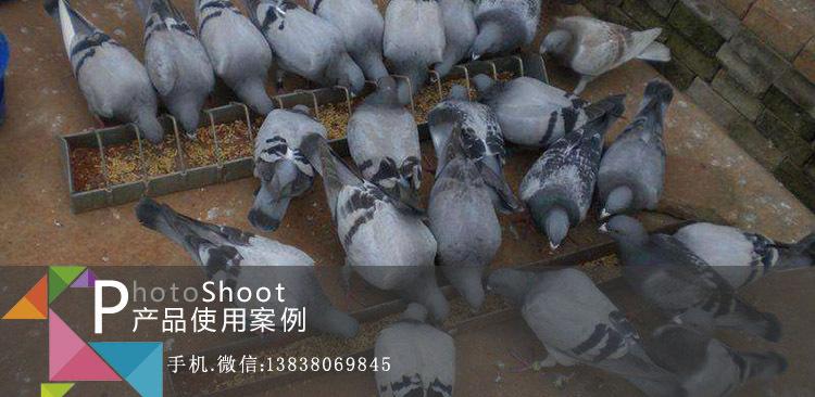 鸽用益生菌案例
