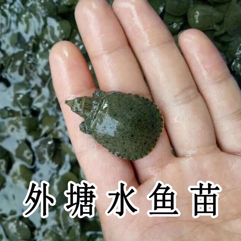 外塘養殖小甲魚苗烏龜活物中華鱉水魚王八苗生態龍魚活體飼料