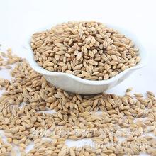 吹风过筛过比重 净大麦 农作谷物带壳大麦五谷杂粮大麦袋装