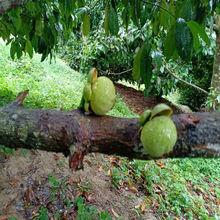 泰国山竹5A果4A果5斤特供精品新鲜水果包邮