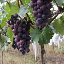基地批发美人指葡萄苗嫁接果树苗南方北方种植盆栽地栽当年结果