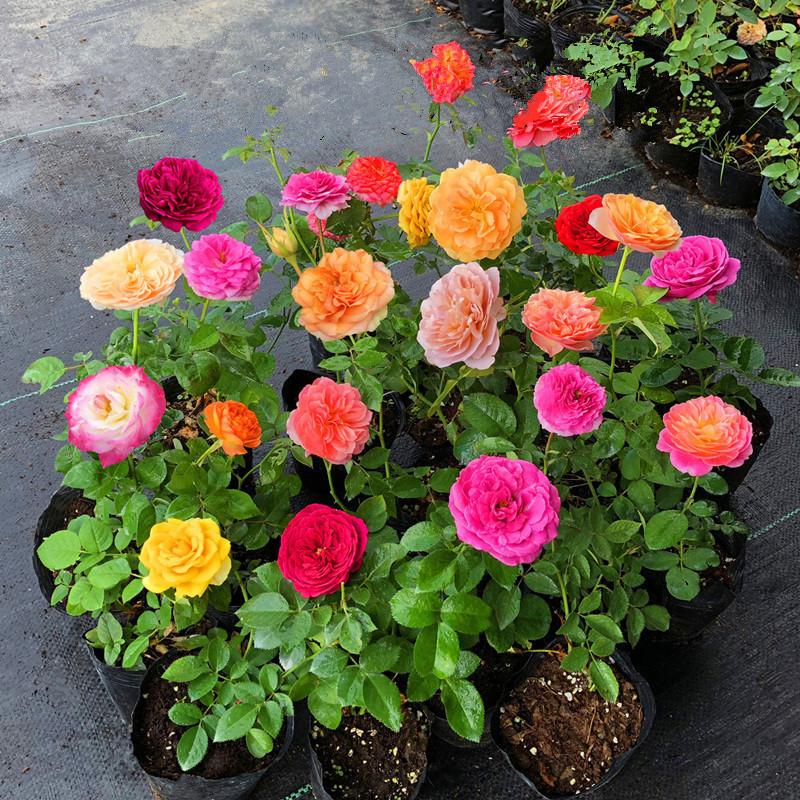 低价批发欧洲四季开花盆栽月季花苗当年开花庭院阳台花卉绿色植物