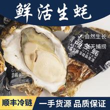 山东乳山新鲜生蚝5斤顺丰直发带壳鲜活牡蛎海鲜水产海蛎子批代发