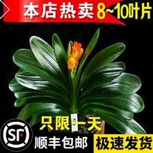 君子蘭盆栽帶花苞老苗四季開花好養花卉植物室內綠植圓頭和尚小苗