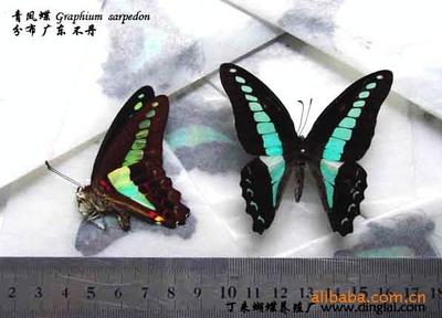 青风蝶 Graphium sarpedon 昆虫标本 蝴蝶标本 标本工艺品
