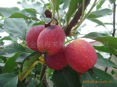临沂海棠基地供优质长寿果海棠 冬红海棠