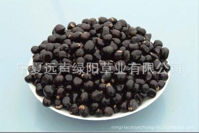 宁夏优质木本食用油料树种文冠果种子