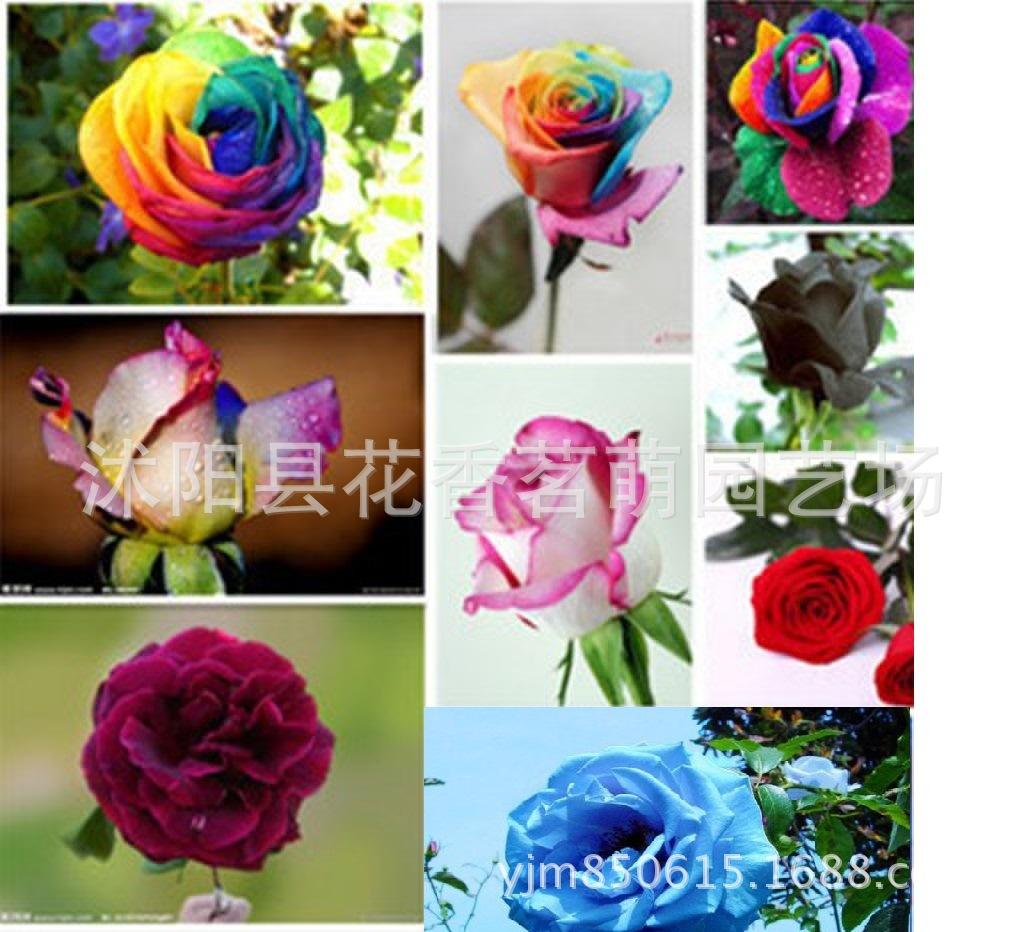 荷兰奥里西亚  流星雨 红双喜  多色玫瑰种子 技术资料指导