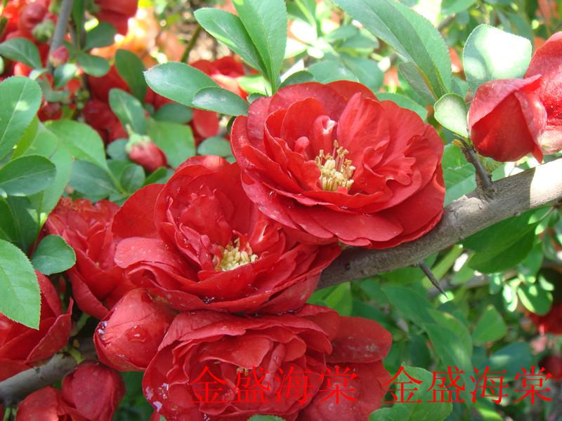 供应精品日本木瓜海棠 花卉 盆景 品种丰富