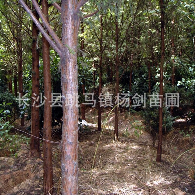 供应湖南水杉 6cm  8公分  水杉树苗 量大价优