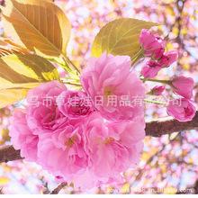 供应盆栽 美女樱花花种 花语/和睦家庭 室内花卉 厂家批发