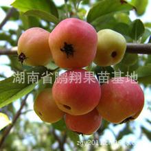 湖南苹果树苗木 生长率高长寿果苗 湖南厂家直销盆栽小苹果苗