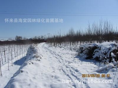 供应美化风景八棱海棠树、 园林绿化海棠树苗