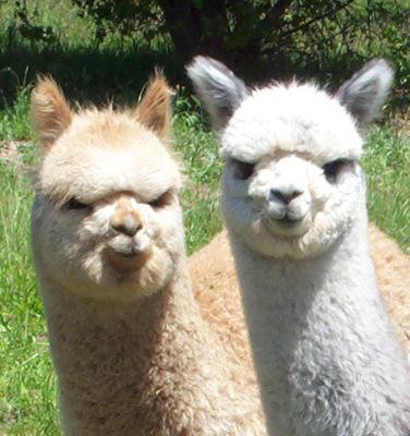 现货供应100%ALPACA羊驼绒线 INCATOPS羊驼绒纱 羊驼毛线批发