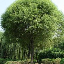 供应各种植物工程苗   优质 馒头柳 垂柳 直生柳