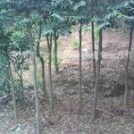 6公分径海南土沉香树/沉香树地苗/沉香风景树