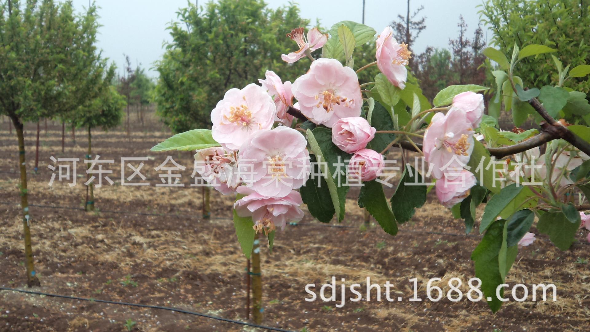 白兰地海棠 表演克莱默 花大重瓣,叶绿较大