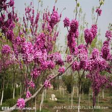 新品种加拿大红叶紫荆 紫荆树苗 彩叶苗木 紫荆树苗批发