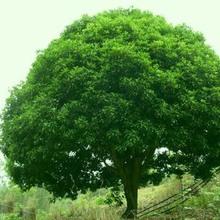 供应香樟树苗批发 苗木 工程苗木 各种规格齐全 量大优惠