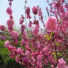 基地供应优质绿化树花灌木紫叶碧桃树苗红叶碧桃树苗庭院观赏乔木