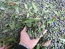 最大金絲楠木種子批發商 認準我們20年專注只做純正最薄小葉金邊