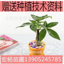 迷你綠植盆栽植物 盆景花卉 直桿小發財樹不含盆